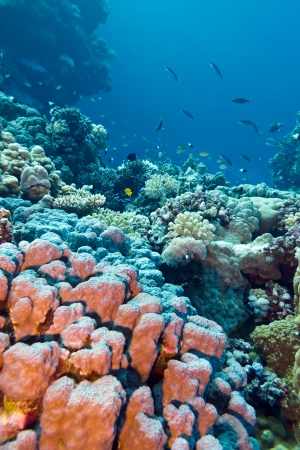 madreporaria: coral reef with stony corals at the bottom of tropical sea