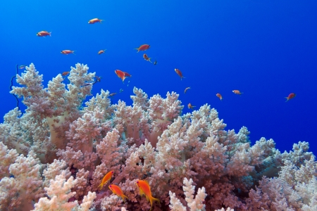 coral reef with sotf broccoli coral and exotic fishes anthias at the botto of tropical sea