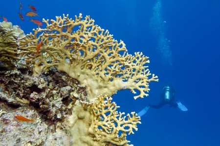 coral reef with yellow fire coral and diver at the bottom of tropical sea Stock Photo - 18752229