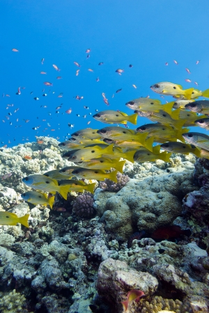 coral reef with shoal of goatfishes at the bottom of tropical sea Stock Photo - 18848498