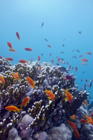 coral reef with hard corals and exotic fishes anthias at the bottom of tropical sea Stock Photo - 18906445