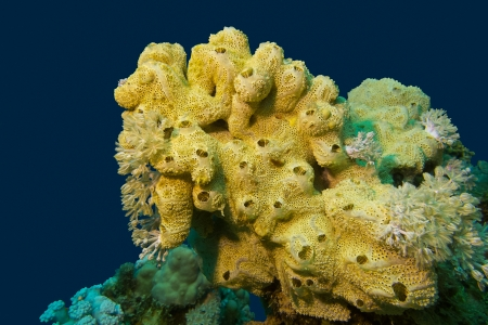 coral reef with great yellow sea sponge at the bottom of tropical sea photo