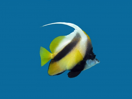 chaetodontidae: single coral reef s exotic fish - bunnerfish isolated on blue background