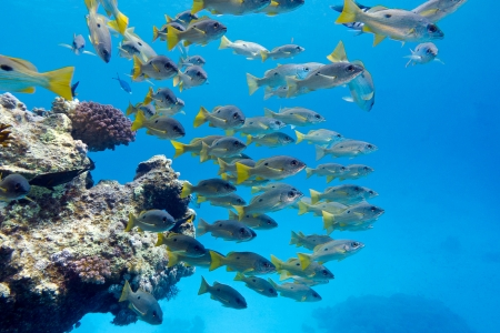 coral reef with shoal of goatfishes at the bottom of red sea photo
