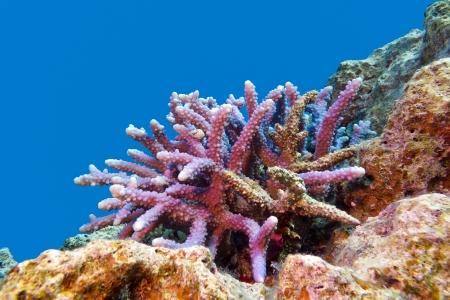 acropora: coral reef with hard coral violet acropora at the bottom of tropical sea Stock Photo