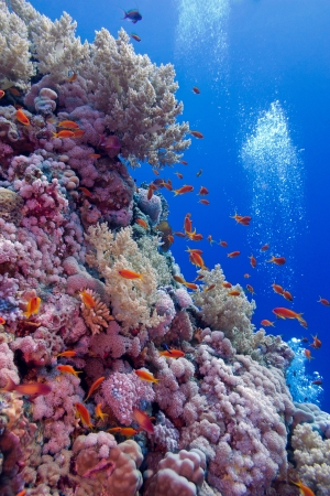 colorful coral reef with soft and hard corals with exotic fishes  at the bottom of tropical sea photo