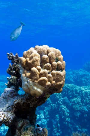 coral reef with great single honeycomb coral at the bottom of tropical sea photo