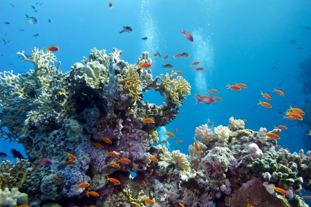 coral reef with hard corals and exotic fishes anthias at the bottom of tropical sea on blue water background Stock Photo - 20329254