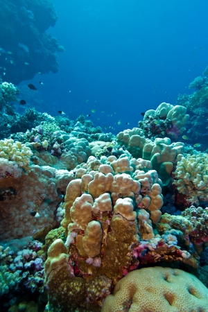 coral reef with hard corals at the bottom of tropical sea on blue water background Stock Photo - 20329253