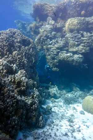 coral reef with great hard corals at the bottom of tropical sea on blue water background photo