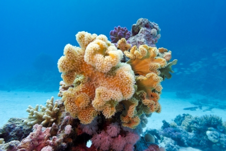 sarcophyton: coral reef with yellow soft coral  sarcophyton at the bottom of red sea in egypt on blue water background