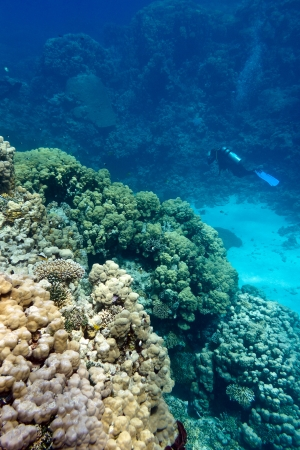 madreporaria: coral reef with stony corals and divers at the bottom of tropical sea on blue water background Stock Photo