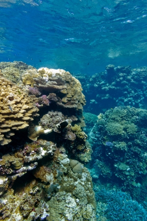 coral reef with hard corals at the bottom of tropical sea on blue water background photo