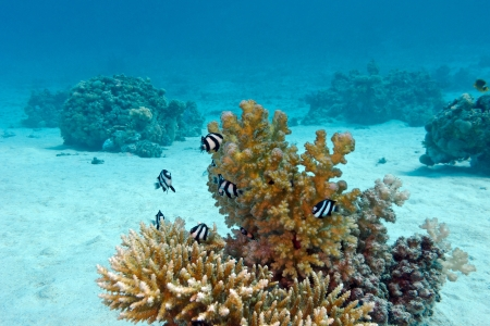 damselfish: coral reef with hard coral and exotic fishes white-tailed damselfish  at the bottom of tropical sea  on blue water background
