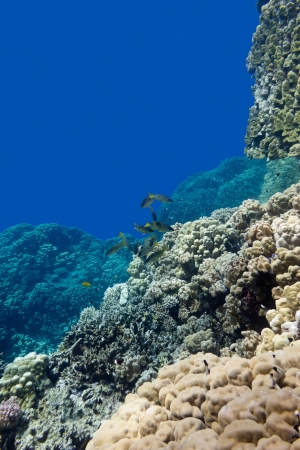coral reef with porites corals and goatfishes at the bottom of tropical sea on blue water background Stock Photo - 21654451
