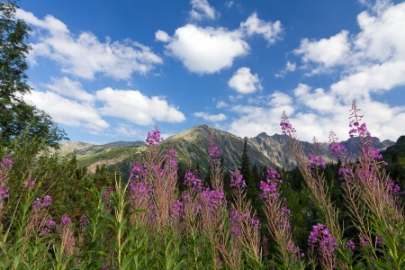 view on mountains and violet flowers fireweed on blue sky background photo