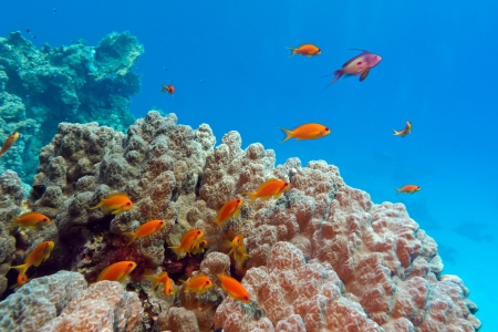 coral reef with porites coral and anthiases at the bottom of tropical sea on blue water background Stock Photo - 21684009