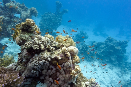 coral reef with soft and hard corals at the bottom of tropical sea on blue water background photo