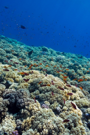 colorful coral reef with hard corals on the bottom of tropical  sea on blue water background- underwater photo photo