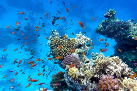 coral reef with soft and hard corals with exotic fishes anthias on the bottom of tropical sea  on blue water background Stock Photo