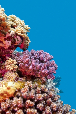 coral reef with violet hard corals poccillopora at the bottom of tropical sea on blue water background Stock Photo - 23308268