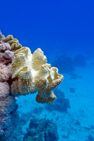 sarcophyton: coral reef with great yellow soft coral mushroom leather  at the bottom of tropical sea on blue water background