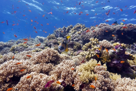 balistoides: coral reef with hard corals and exotic fishes anthias and triggerfish at the bottom of tropical sea on blue water background