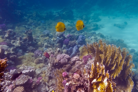 bottom of tropical sea with coral reef and butterflyfishes