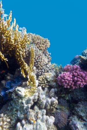 recife de coral com violeta duros corais poccillopora no fundo do mar tropical no fundo da