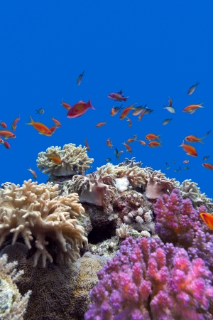 acropora: coral reef with soft and hard corals with exotic fishes anthias on the bottom of tropical sea  on blue water background Stock Photo