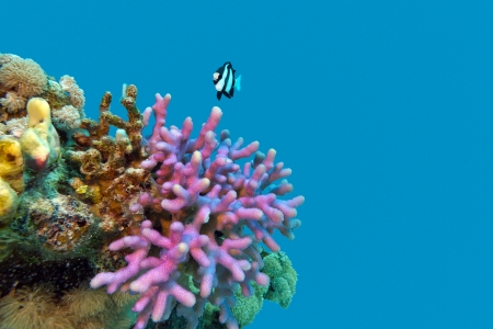 coral reef with violet hood coral end exotic fish at the bottom of tropical  sea isolated  on blue water background photo