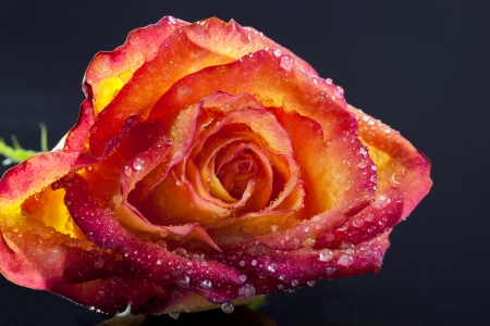 single frozen flower of rose isolated on a black background - macro photo
