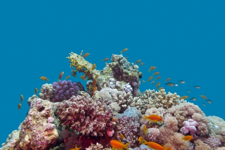 coral reef and fishes anthias at the bottom of tropical sea on blue water background photo