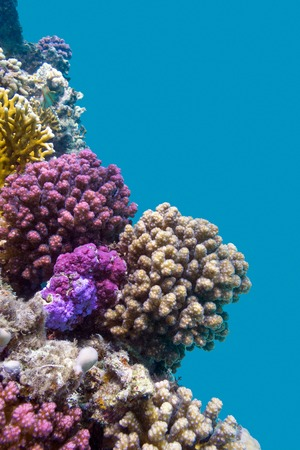 hard coral: coral reef with violet hard corals poccillopora at the bottom of tropical sea on blue water background Stock Photo
