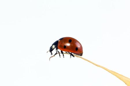 single ladybird isolated on white background Stock Photo
