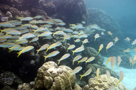 madreporaria: coral reef with shoal of goatfishes and hard corals at the bottom of tropical sea on blue water background Stock Photo