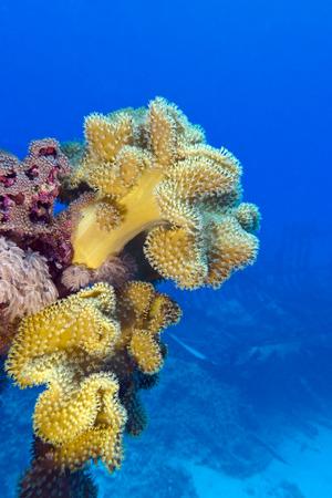 recife de coral com grande coral suave amarelo no fundo do mar tropical no fundo da