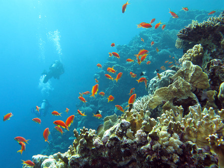 coral reef with  divers and exotic fishes anthias at the bottom of tropical sea on blue water background photo
