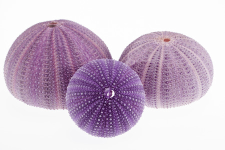 group of skeletons of sea shell violet  echinoidea isolated on white background- macro photo