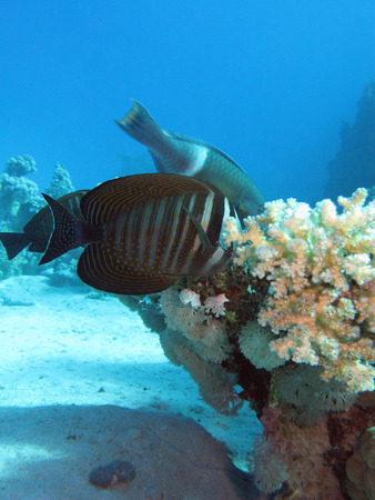 Red Sea sailfin tang with coral reef at the bottom of tropical sea on blue water background photo