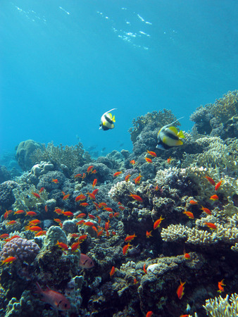 colorful coral reef with exotic fishes at the bottom of tropical sea on blue water background photo