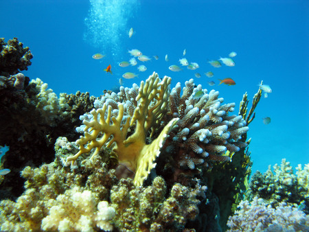 scleractinia: coral reef with hard corals and exotic fishes at the bottom of tropical sea on blue water background