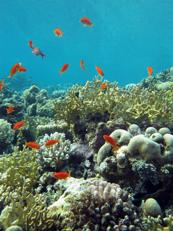 anthias fish: coral reef with fire corals and exotic fishes anthias at the bottom of tropical sea on blue water background Stock Photo