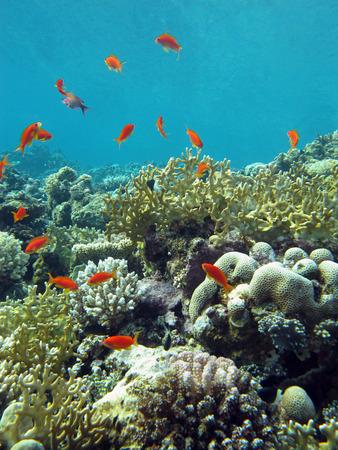 recife de coral com corais de fogo e peixes ex