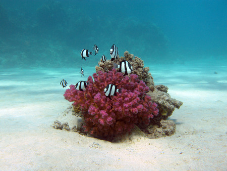 humbug: coral reef with hard coral and exotic fishes white-tailed damselfish  at the bottom of tropical sea  on blue water background