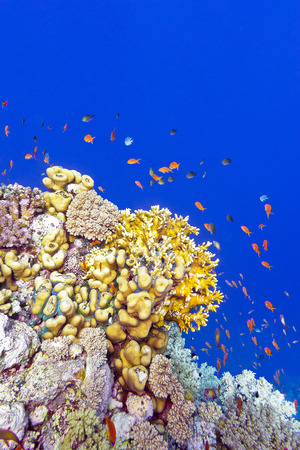 anthias: coral reef with fire corals and exotic fishes anthias at the bottom of tropical sea on blue water background Stock Photo