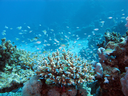 madreporaria: coral reef on tke seabed at great depth on a background of blue water