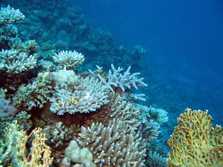 colorful coral reef  with hard corals at the bottom of tropical sea on blue water background photo
