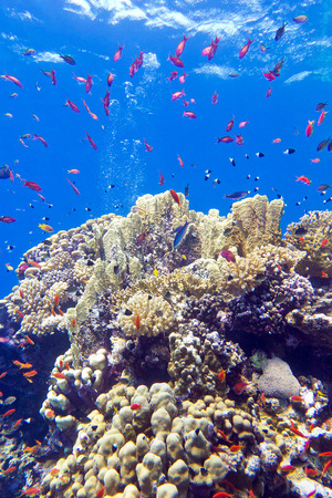 madreporaria: colorful coral reef with exotic fishes anthias at the bottom of tropical sea on blue water background