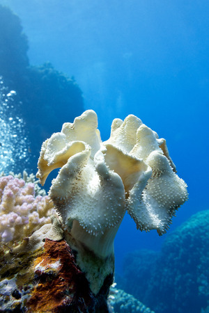 coral reef with great yellow soft coral mushroom leather  at the bottom of tropical sea on blue water background photo